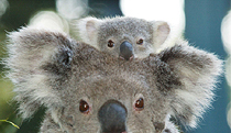 Billabong Koala and Wildlife Park - Byron Bay Accommodations