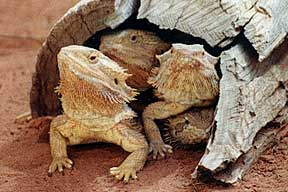 Alice Springs Reptile Centre - Byron Bay Accommodations