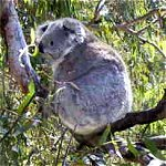 Koala Conservation Centre - Byron Bay Accommodations