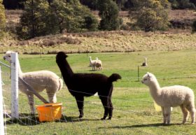 Maydena Country Cabins Accommodation  Alpaca Stud - Byron Bay Accommodations