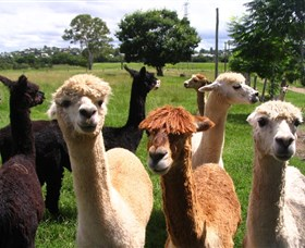 Banyandah Alpacas - Byron Bay Accommodations