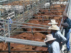 Dalrymple Sales Yards - Cattle Sales