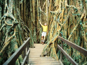 Curtain Fig Tree - Byron Bay Accommodations